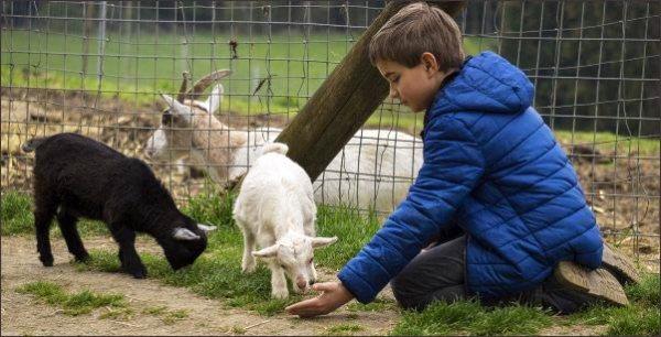 child feeding goats, raising kids in the country, country kids, raise country kids,keeping country kids safe around guns, kid friendly chickens, homesteading, homestead