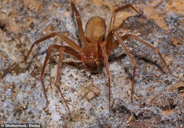 Los médicos ahora dicen que fue mordido por una araña reclusa parda venenosa, y las picaduras a veces son mortales para los humanos (imagen de archivo)