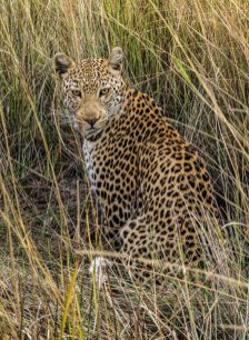 Leopard, Chobe Africa