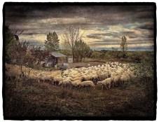 Passing Sheep, Tuscany