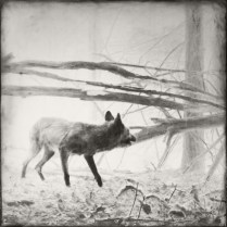 """""""Coyote"""", encaustic print, from the Hidden Worlds series"""