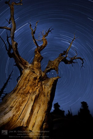Startrails seen through an ancient Bristlecone Pine tree atop the White Mountains of California