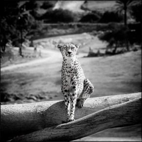 Dan-Hughes_Cheetah