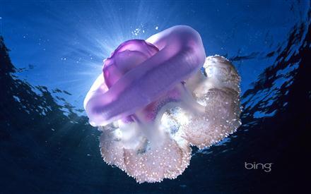 Crown Jellyfish