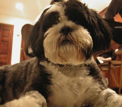 Dogs On Design Debbie Millman Knows Her Shih Tzus Core77