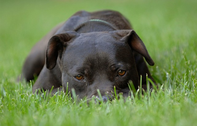Vicktory dog Cherry lying with face in the grass