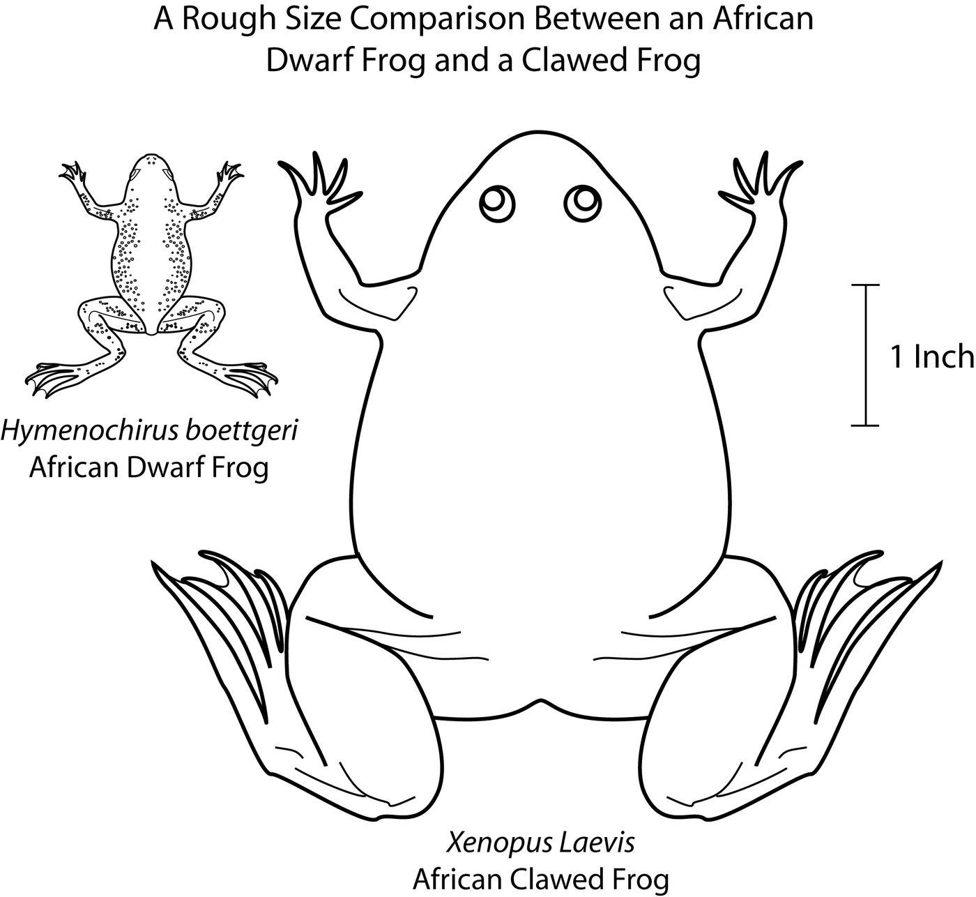 Aquatic Frog Diagrams By Sara Jennings At Coroflot