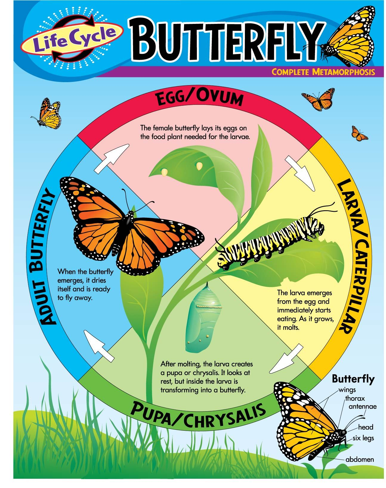 Life Cycle Of A Butterfly Tutorial