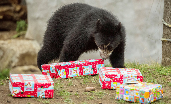 Spectacled Bears Get Christmas Gifts
