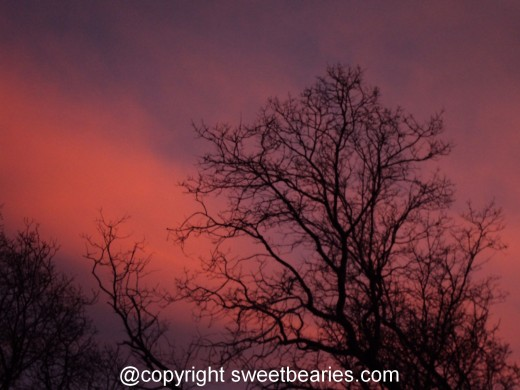 Purple and pink streaks in the sky, with the outline of the oak trees.