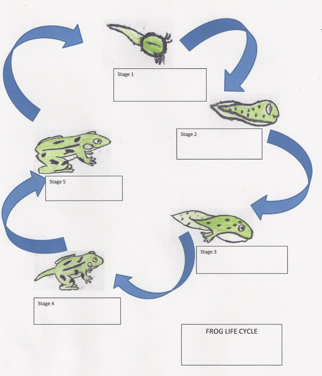 Life Cycle Of A Frog Lesson Plan For Elementary Students