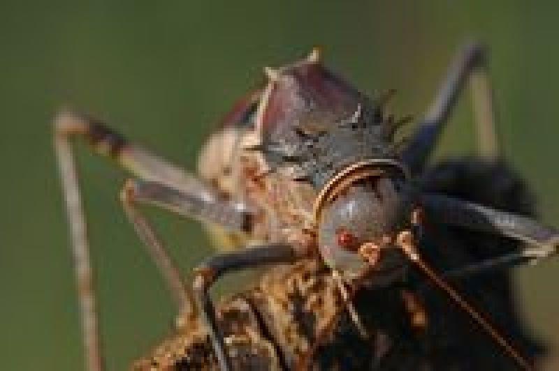 Жуткий кузнечик из пустыни Калахари, который нападает на птиц