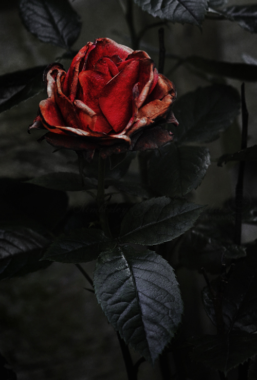 black and red roses tumblr