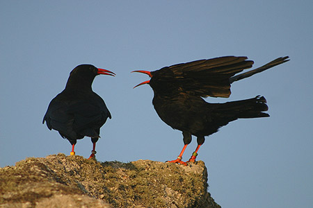 "A ""chatter"" of choughs"
