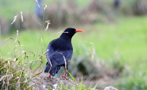A Red-billed Chough (Pyrrhocorax pyrrhocorax) at Paradise Park (R Hales)