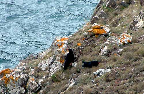 The two wild choughs on the Lizard coast in 2002
