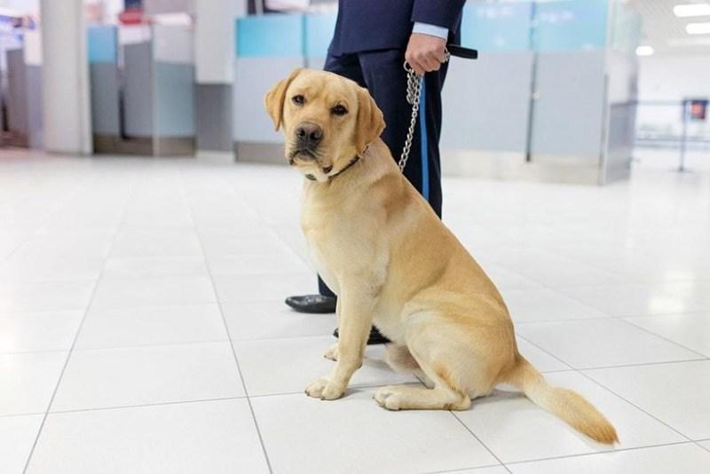 В аэропорту Дубая собаки теперь ищут COVID-19 у пассажиров