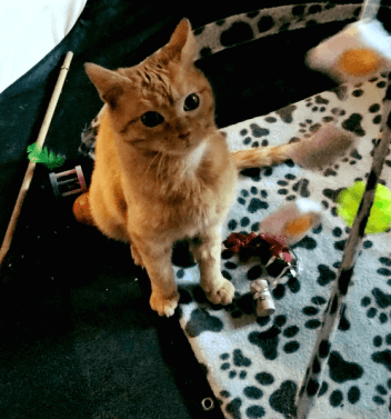 Pretty ginger cat waiting to be adopted