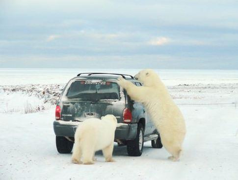 Polar Bears of Churchill in Canada