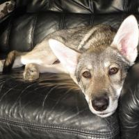 Herplaatsing gezocht voor pup Caira