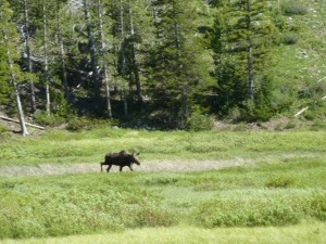 Image of a moose.