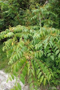 Ailanthus altissima Ph. A. Villetorte