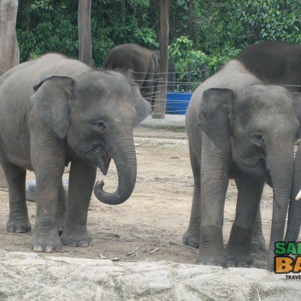 A herd of elephants at the Lok Kawi Park Zoo