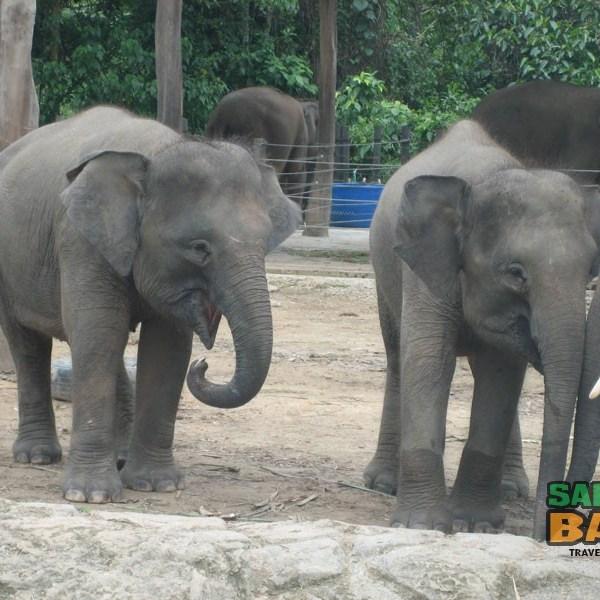 A herd of elephants at the Lok Kawi Park Zoo