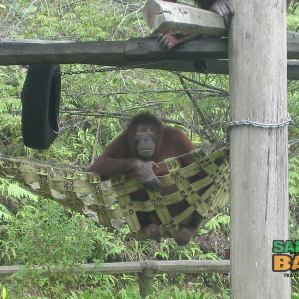 The wildman of Borneo, the orang utan, also makes an appearance at the Lok Kawi Wildlife Park Zoo