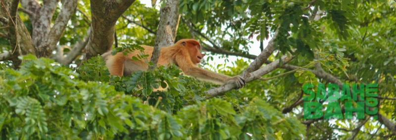 Proboscis monkeys on the river banks in Sabah, Borneo