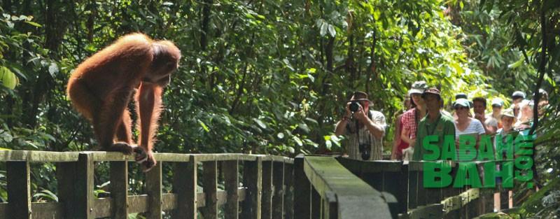 Orangutan at Sepilok welcoming Tourists