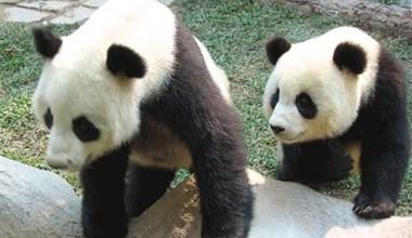 Photo of Бангкок просит Пекин продлить «командировку» панд в тайском зоопарке