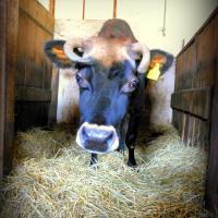 Her Majesty Jagodzianka, the cow.