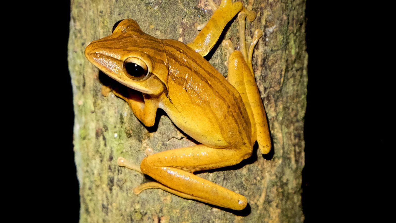 a photo of a climbing frog in gunung leuser national park.