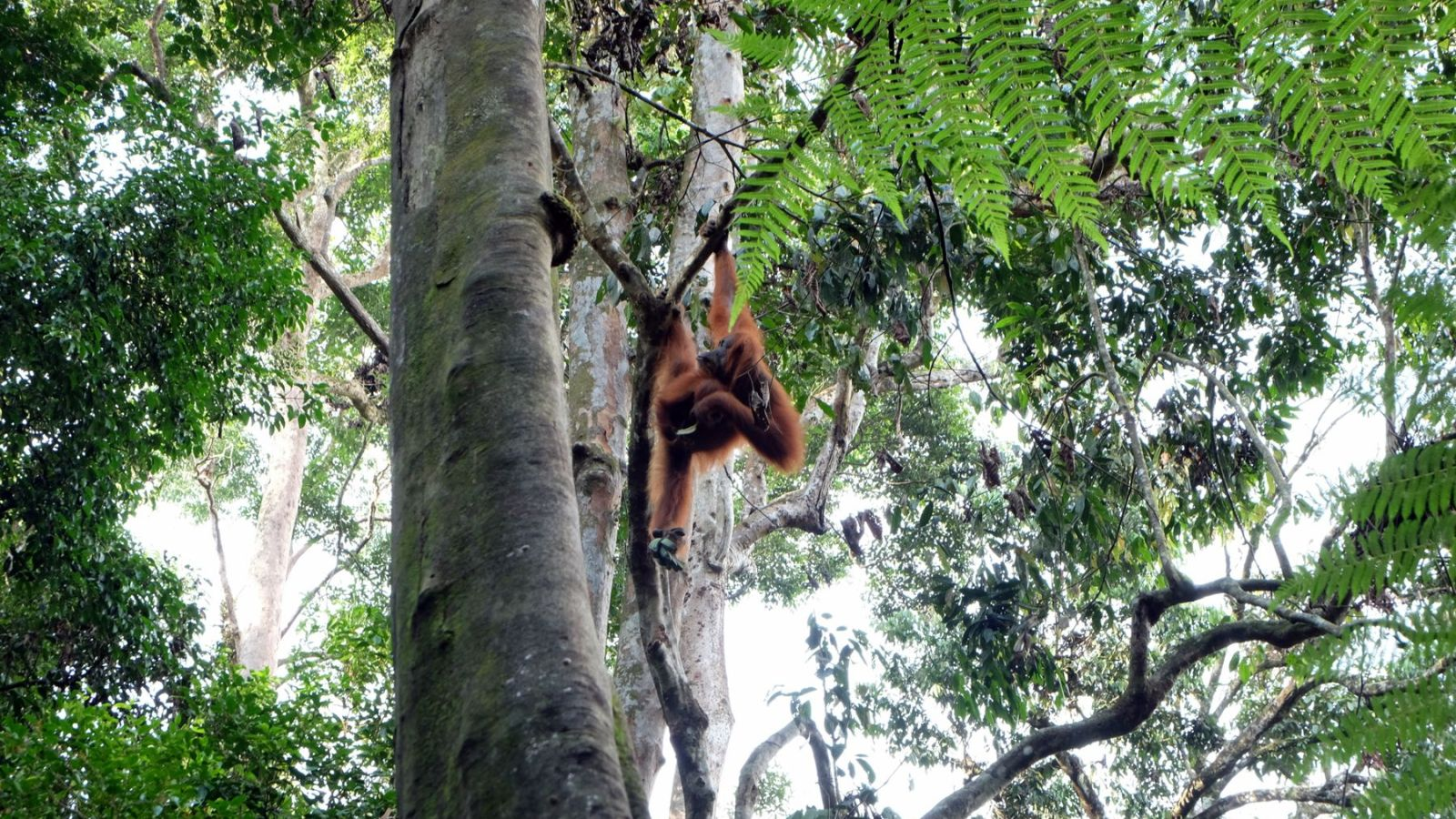 a photo of a orang utan hanging in a tree in bukit lawang.