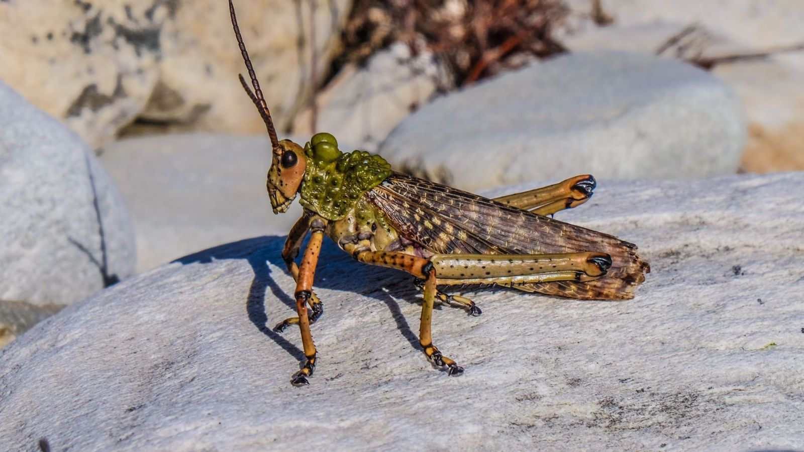 a large grasshopper on the otter trail in south africa.