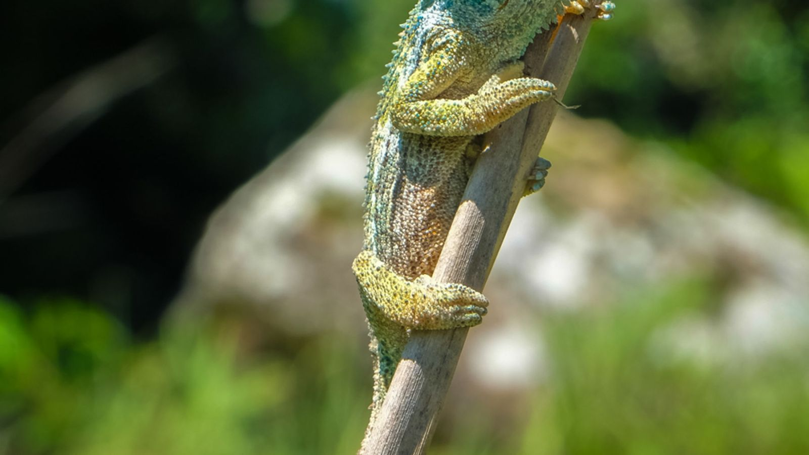 south african dwarf chameleon