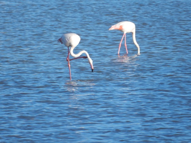 Flamingos wade in the salt pan next to town