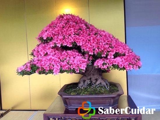azalea bonsái japón