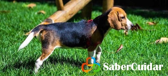 Beagle paseando por el jardín