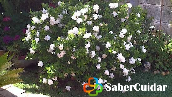 Gardenia sembrada en jardín