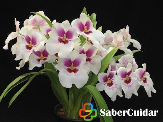 Orquídeas blancas sembradas en maceta