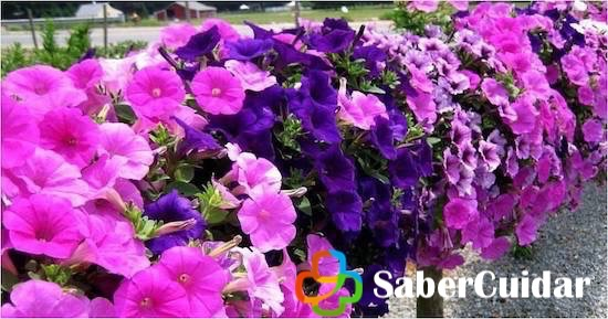 Jardín de petunias moradas