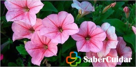 Petunias rosadas