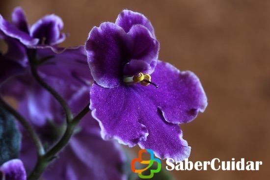 La violeta y sus cuidados
