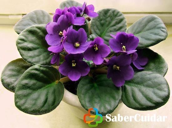 Violeta en maceta