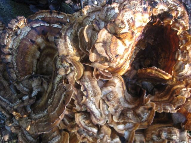 Cogumelo Trametes versicolor em Guimarães (1/4)