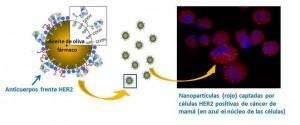 Obtienen-nanocapsulas-con-actividad-antitumoral-en-lineas-celulares-de-cancer-de-mama_image_380