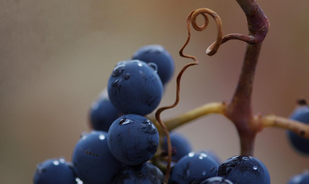 Las uvas por y para el vino
