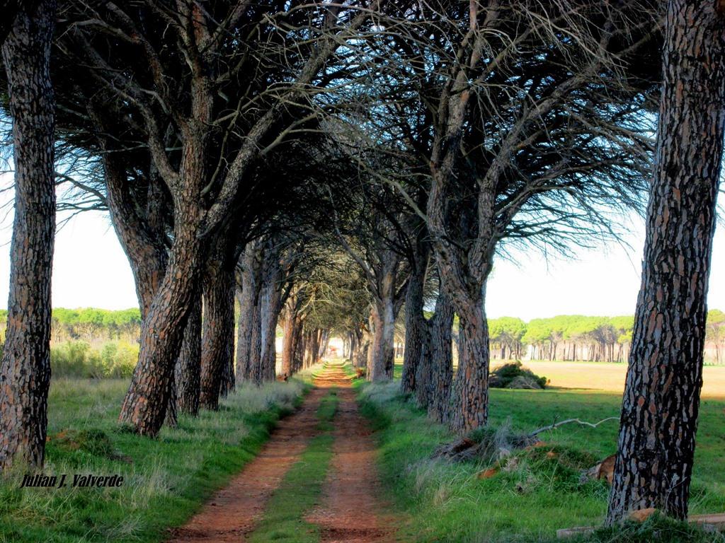 Pinos carrascos de Cañas. Autor, Julián J. Valverde